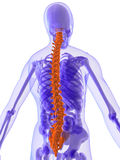 3d anatomy - spine. 3d rendered illustration of a human anatomy with highlighted spine Stock Photo