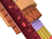 3d artery. Anatomical 3d model of a human artery Royalty Free Stock Images