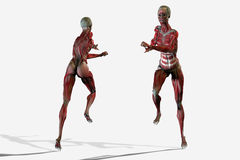 3D body anatomy. Of running woman muscle system Stock Image