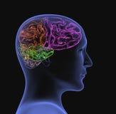 3d cabeça transparente da pessoa - raio X Fotos de Stock