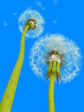 3d dandelions. On a sky background Royalty Free Stock Photos