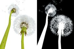 3d dandelions Stock Photography
