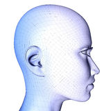 3d female face Wireframe. 3d anatomy image of a woman head with wireframe isolated on white background Royalty Free Stock Photos