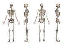 3d framför skelett Arkivbilder
