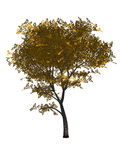 3D Generated Yellow Mapple Tree. Isolated on white background Royalty Free Stock Photography