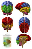 3D Human Brain. 3D Render of an Human Brain Royalty Free Stock Images