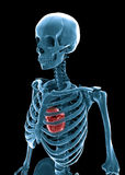 3D human skeleton. With a visible heart Stock Photo