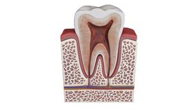Free 3D Illustration Of A Tooth Anatomy Stock Image - 117299631