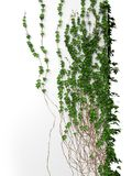 3d ivy wall Royalty Free Stock Photos