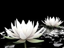 3d lotuses on water. Black background Stock Images