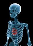 3D menselijk skelet royalty-vrije illustratie