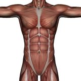 3D muscle of man. 3D rendered muscle of man on white background isolated Royalty Free Stock Photo