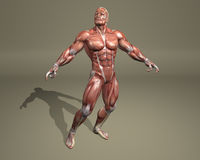 3d muscular system Stock Image