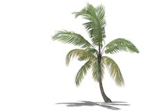 3d palm tree. 3d isolated palm tree on a white background Stock Images