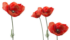 3d poppies. Set of 3d poppies on a white background Royalty Free Stock Image