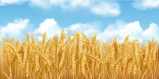 Free 3D Realistic Vector Gold Wheat Field And Blue Sky With Clowds Royalty Free Stock Image - 191947966