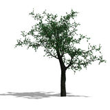 3D Render of a broadleef Tree Royalty Free Stock Images