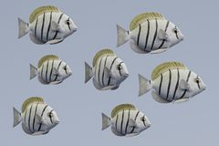 Free 3d Render Of Convict Tang Fish Stock Photo - 114915290