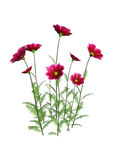 3D Rendering Cosmos Flowers on White Royalty Free Stock Photo
