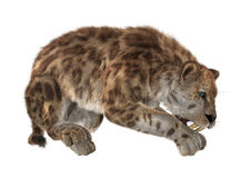 3D Rendering Sabertooth on White Royalty Free Stock Photography