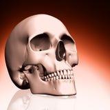 3D schedel Stock Afbeelding