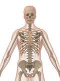 3d skelet Stock Afbeeldingen