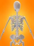 3d skelet Stock Afbeelding