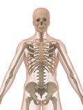 3d skeleton Stock Images