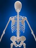 3d skeleton Stock Photos