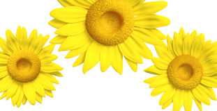 3D sunflower. Background of sunflower illustration model 3d, isolated Royalty Free Stock Image