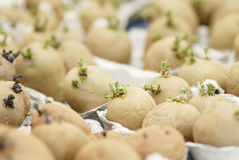 3Six potatoes chitting. Royalty Free Stock Photo