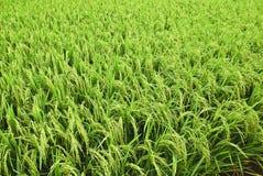 4个亚洲域稻系列 免版税库存照片