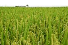 4个亚洲域稻系列 图库摄影
