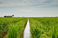 4个亚洲域稻系列 免版税库存图片