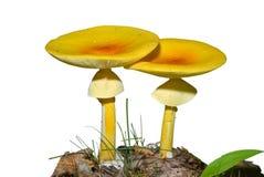 4个伞形毒蕈caesareaoides蘑菇 免版税库存图片