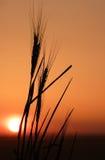 4个剪影麦子 免版税图库摄影