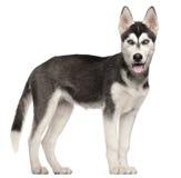 4个多壳的月小狗西伯利亚身分 免版税库存照片