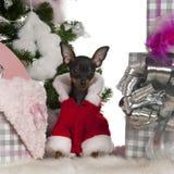 4个奇瓦瓦狗圣诞节月结构树 免版税图库摄影