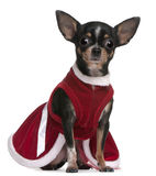 4个奇瓦瓦狗礼服穿戴的月圣诞老人 库存图片