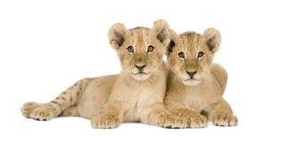 4个崽狮子月 库存照片