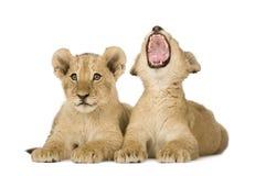 4个崽狮子月 免版税库存照片