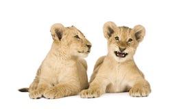 4个崽狮子月 免版税库存图片