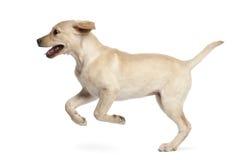 4个拉布拉多月猎犬年轻人 库存照片