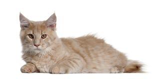 4个浣熊小猫缅因月 免版税库存图片