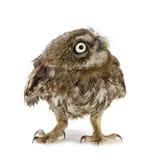 4个猫头鹰星期新 免版税图库摄影