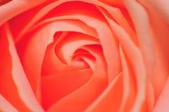 4个粉红色玫瑰色系列 免版税库存图片