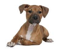 4个美国月小狗斯塔福郡狗 免版税图库摄影