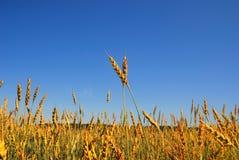 4个背景蓝天麦子 免版税库存图片