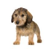 4个达克斯猎犬月 免版税库存图片