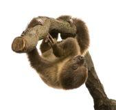 4个婴孩choloepus didacty月怠惰用了脚尖踢二 库存照片